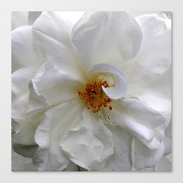 Curly White Rose Flower Macro Canvas Print