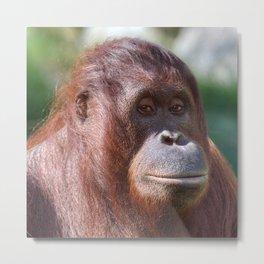 Sceptical Orangutan Lady Metal Print