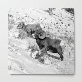 2 Amazing Bighorn Sheep in Black and White by OLena Art for #Society6 Metal Print