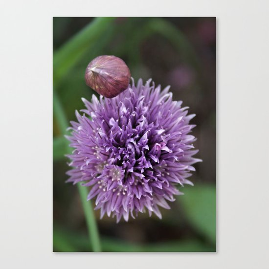 Wild Chive Flower Heads 2 Canvas Print