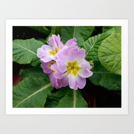 Purple primula at the park Art Print