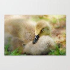 Sleepy Gosling Canvas Print