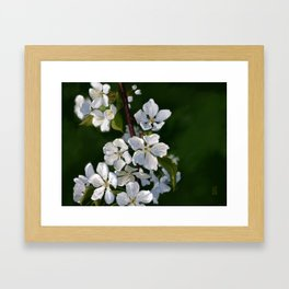 Bing Cherry Blossoms Framed Art Print