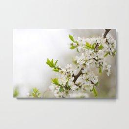 Blooming Cerasus cherry tree twig Metal Print