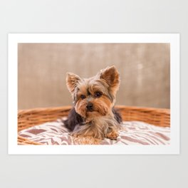 Tiffany the Teacup Yorkshire Terrier Art Print