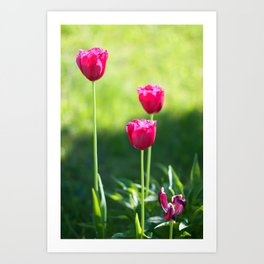 Three pink tulips Art Print