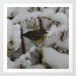 Yellow Rumped Warbler Art Print