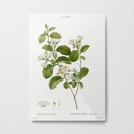 Snowdrop bush Styrax officinale from Traite des Arbres et Arbustes que lon cultive en France en plei Metal Print