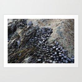 Mussel Bed on Ocean Weathered Rocks Art Print