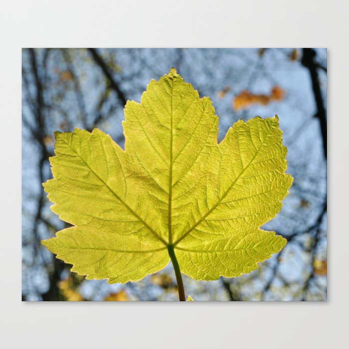 SYCAMORE LEAF Canvas Print