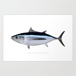 Albacore Tuna Art Print