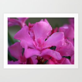 Pink Oleander Flower With Green Leaves in the Background Art Print