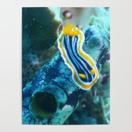 Yellow and blue striped chromodoris nudi Poster