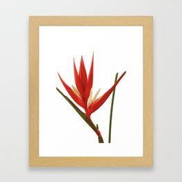Helicona Flower red Framed Art Print
