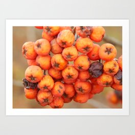 Wild berries in the autumn grow in the forest Art Print