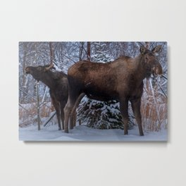 A cow moose with its calf Metal Print