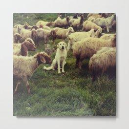 Herding dog, male, south of Israel, scaned sx-70 Polaroid Metal Print