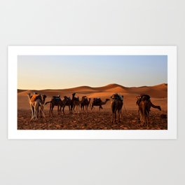 Group of Camels Resting Art Print