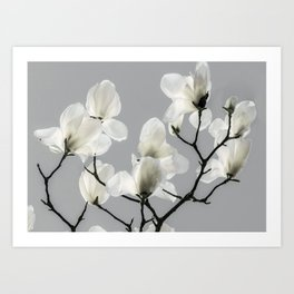 Gray Magnolia and White Art Print