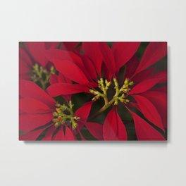 Poinsettia Red Euphorbia pulcherrima Metal Print