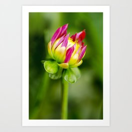 Karma Thalia Dahlia In Bloom Art Print