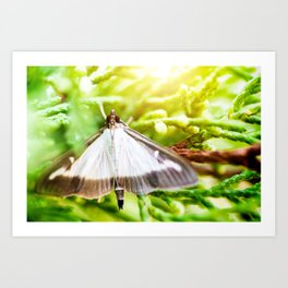 Cydalima Perspectalis or Pyrale du Buis or boxwood butterfly insect Art Print