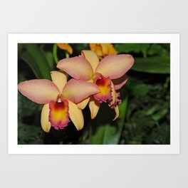 Cattleya (The Corsage Orchid) Art Print