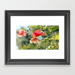 Backlit poppies Framed Art Print