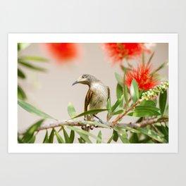 Australian Brown Honeyeater Bird. Art Print