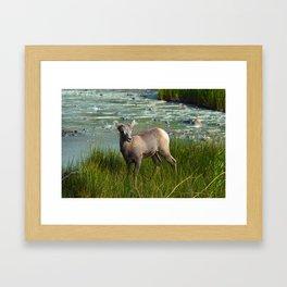 Baby big horn sheep in Jasper National Park Framed Art Print