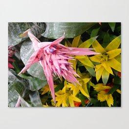 Aechmea pink blossom of the Bromeliaceae family Canvas Print