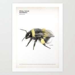 White-tailed bumblebee, poster #3 Art Print