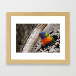 A Rainbow Lorikeet perched in a hollow log. Framed Art Print