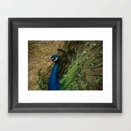 Pensive Peacock Framed Art Print
