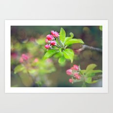 apple blossoms Art Print