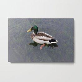 Mallard Duck Swimming II Metal Print