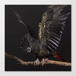 Female Red-tailed Black-cockatoo on perch with wings out Canvas Print