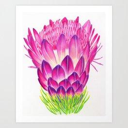 Botanical Illustration African Protea Art Print