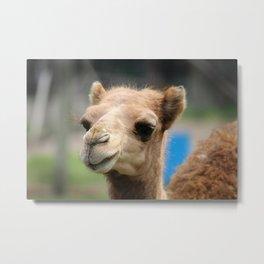 Baby Arabian Camel Metal Print