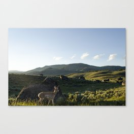 Pronghorn Antelope - Yellowstone National Park Canvas Print