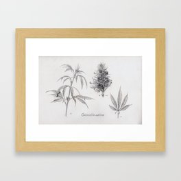 Cannabis sativa Framed Art Print