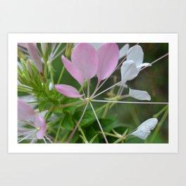 Cleome Petals Art Print