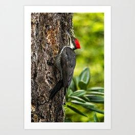 Female Pileated Woodpecker No. 1 Art Print