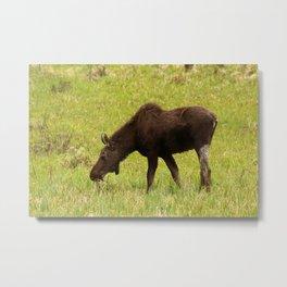 Young Moose Metal Print
