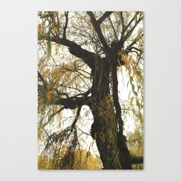 Willow tree Canvas Print