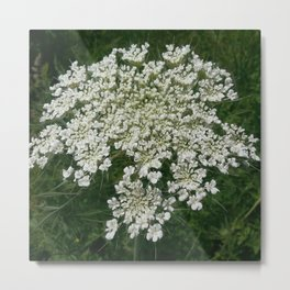 Queen Anne's Lace 3 Metal Print