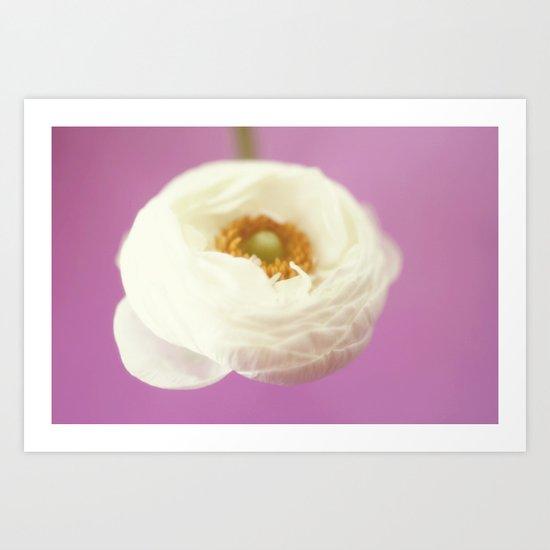 white rununculus Art Print