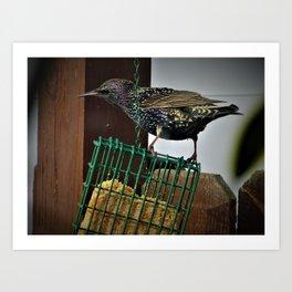 Determined Starling Art Print