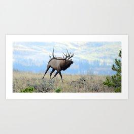 Charging Bull Elk in Rut Art Print
