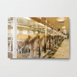 Cows in Milking Barn Metal Print